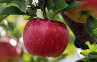 सेहत और खूबसूरती के लिए सेब खाएं